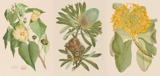 植物への親しみが湧く♪キャプテン・クック探検航海と『バンクス花譜集』展